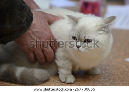 Tabby color point british shorthair being examined at cat show - stock photo