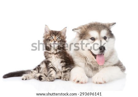 tabby kitten and alaskan malamute dog together. isolated on white background - stock photo