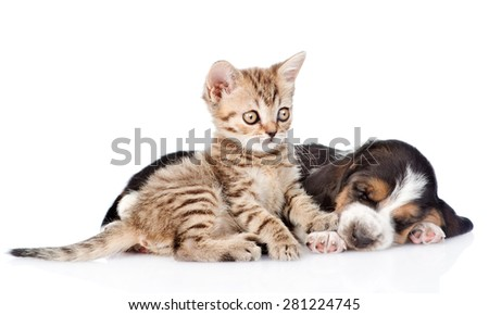 Tabby kitten and sleeping basset hound puppy lying together. isolated on white background - stock photo