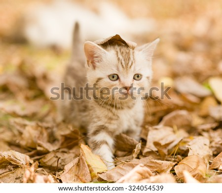 Tabby kitten in autumn park with a leaf on his head - stock photo