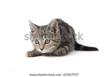 tabby kitten isolated on white background playing