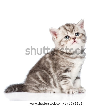 Tabby kitten looking up. isolated on white background - stock photo
