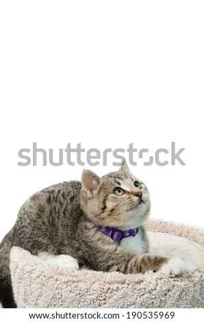Tabby kitten lying on a cat bed looking up, isolated on a white background. - stock photo