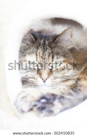 tabby kitten of siberian breed into the scratching post, at the porthole - stock photo