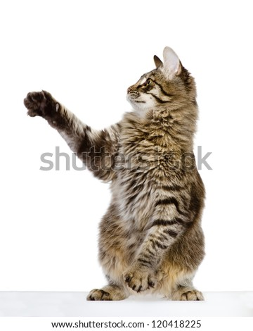 Tabby kitten playing and swinging its paw. isolated on white background - stock photo