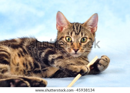 Tabby kitten playing on fluffy blanket looking straight at the camera - stock photo