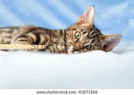 Tabby kitten playing on fluffy blanket looking straight at the camera with lots of copy space - stock photo