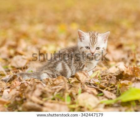 Tabby kitten sitting in autumn park - stock photo