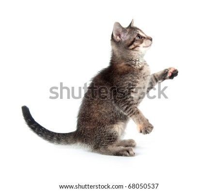 Tabby kitten sitting up and playing on white background - stock photo