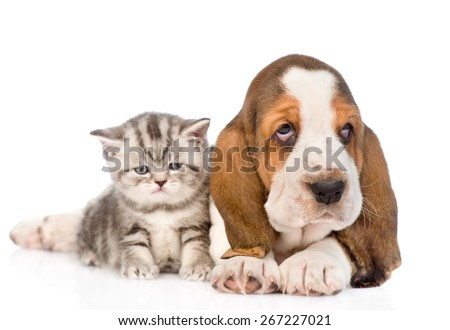 Tabby kitten sitting with basset hound puppy. isolated on white background - stock photo