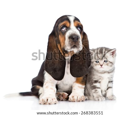 Tabby kitten sitting with basset hound puppy. isolated on white background