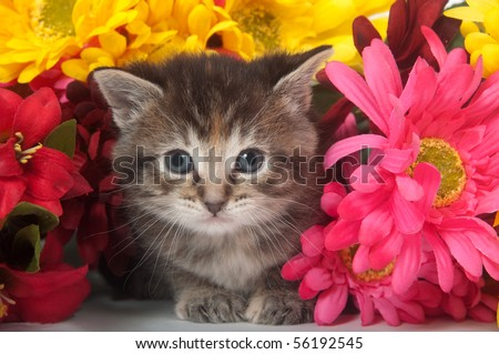 Tabby kitten with colorful flowers on white background - stock photo