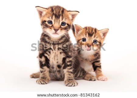 Tabby Kittens - stock photo