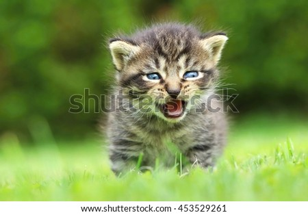 Tabby kitty mewing - stock photo