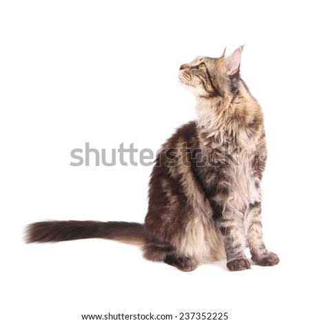 Tabby Maine Coon cat isolated on white background - stock photo
