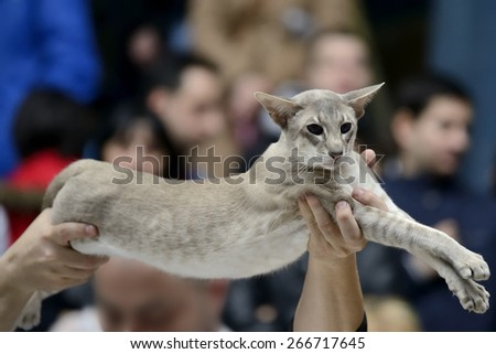Tabby pointed siamese cat being held at cat show - stock photo