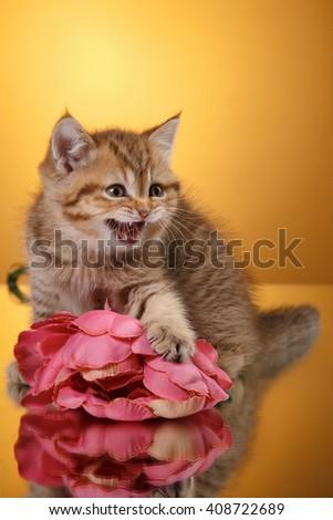 Tabby Scottish kitten, portrait  on a studio color background  - stock photo