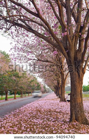 Tabebuia rosea - stock photo
