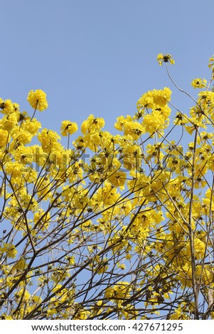 Tabebuia spectabilis flower or Yellow tabebuia flower bloom on tree in the garden,Tropical yellow flowers a species from India. - stock photo