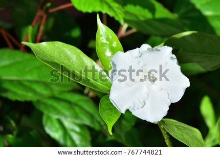 Tabernaemontana divaricata crepe jasmine clavel de stock photo edit tabernaemontana divaricata crepe jasmine clavel de la india east indian rosebay pinwheel mightylinksfo