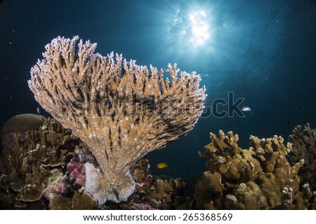 Table coral, elkhorn coral, and staghorn coral  is a genus of small polyp stony coral in the phylum Cnidaria. The most common and diverse group in the Indo-Pacific.  - stock photo