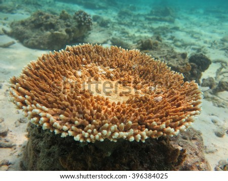 Table corals,staghorn corals on shallow water at Maiton island Thailand. - stock photo