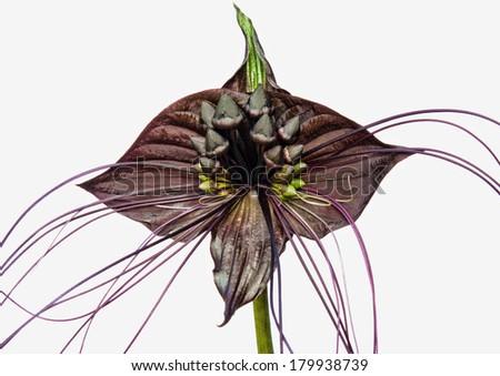Tacca chantrieri an unusual tropical flower - stock photo