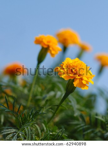 Tagetes flowers closeup. Shallow depth of field - stock photo