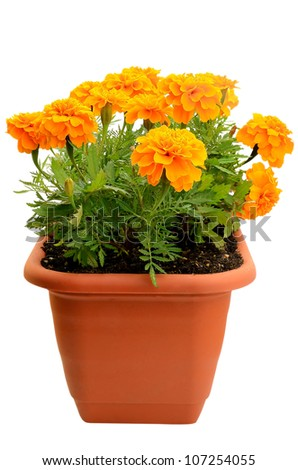 Tagetes flowers in balcony flowerpot isolated on white background - stock photo