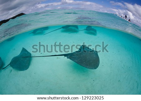 Tahitian stingrays (Himantura fai) swim in shallow water in a beautiful lagoon off Bora Bora in French Polynesia.  Sharks and rays are quite common in this region of the South Pacific Ocean. - stock photo