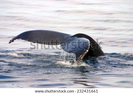 Tail fin of a gray whale in Atlantic unfocused, motion blur - stock photo