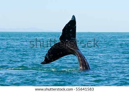 Tail fin of a gray whale in Guerrero Negro, Mexico - stock photo