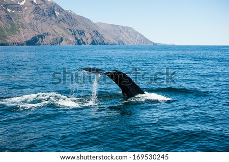 Tail fin of the mighty humpback whale (Megaptera novaeangliae) seen from the boat near Husavik, Iceland - stock photo