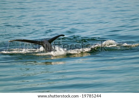 tail flip of humpback whale in calm alaskan waters - stock photo