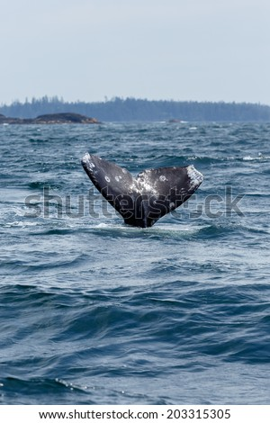 Tail of a grey whale at long beach Vanvouver Island - stock photo