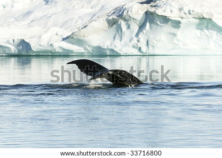 Tail of a humpback whale (Megaptera novaeangiae) in the high arctic - stock photo
