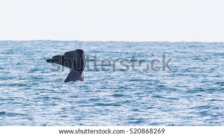 Tail of a Sperm Whale diving, west of Iceland