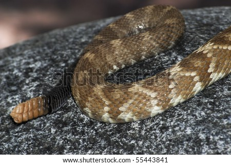 Tail of Black tailed rattlesnake, Crotalus molossus  showing rattle - stock photo