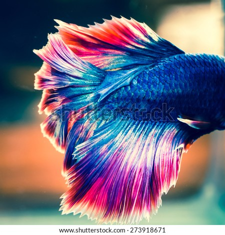 tail of fighting fish - colorful siamese aggressive water tropical animal - stock photo