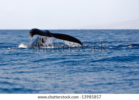 Tail of Humpback Whale above the water - stock photo
