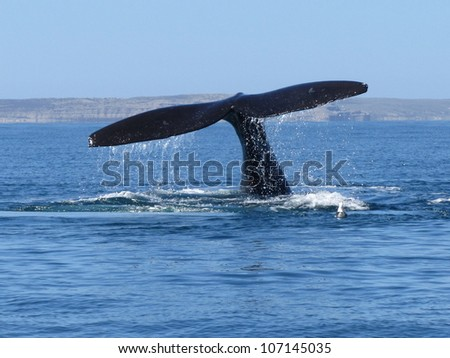 tail of the right whale, peninsula Valdes, Argentina