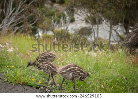 Tail of wild emu and his three chicks near Snowy mountains highway - stock photo