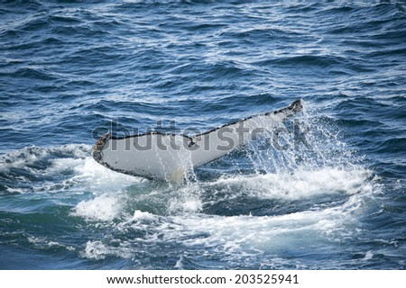 Tail view of Humpback whale in Antarctica - stock photo
