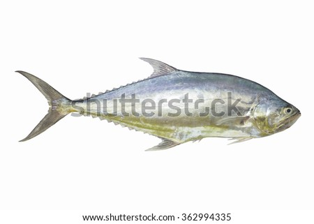tailing queen fish isolate on white background,Fish fresh and tasty seafood,