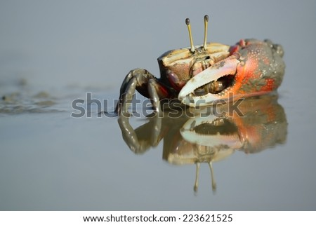 Taiwan er-Jen Creek Fiddler crab on the estuaries, intertidal zone, his large claws with the dancing waves and an attacker wielding a - stock photo
