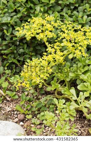 Taiwan stonecrops' yellow flowers blooming (Sedum formosanum) - stock photo