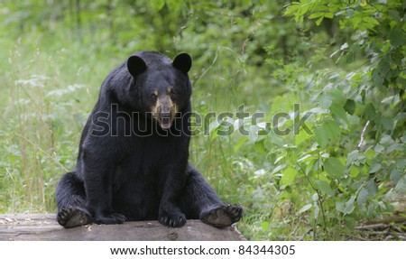 Take a Load Off!  Black bear (Ursus Amricanus) stops to rest for a while on a fallen log in the meadow. - stock photo