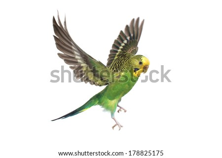 take-off of a parrot on a white background - stock photo