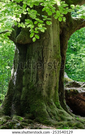 "Taken in one of the oldest nature reserve areas in Germany, the virgin forest of Sababurg. Some of the trees in the forest have nearly 1000 years of age./Old beech in the virgin forest ""Sababurg"" - stock photo"