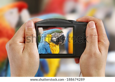 Taking a Picture of a Blue and Yellow Macaw - stock photo